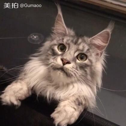 【Gu猫】脾气最臭的猫。