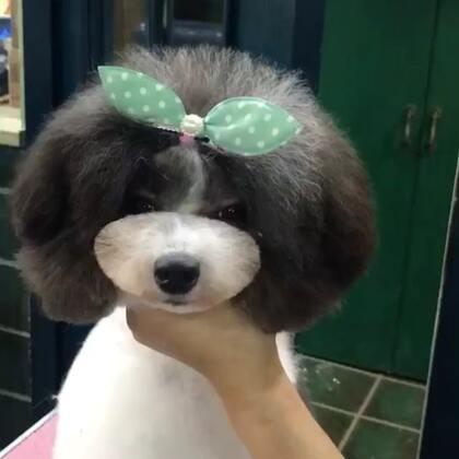 学员作品#宠物美容师的日常##宠物美容师培训班#