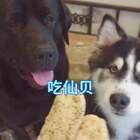 #宠物#仙贝,贼脆!