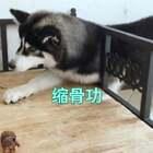 #宠物#吃个牛蹄瓣,先吃完的那个总是可怜巴巴的