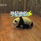 #厉害了,我的熊猫# 第二期,熊猫吸粉哪家强? 还有新一代壶娃是谁?😃