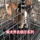 #宠物##柴犬##拜托拜托我要上热门# 柴犬界古惑仔 我要上热门,替柴宝宝们谢谢各位点赞啦