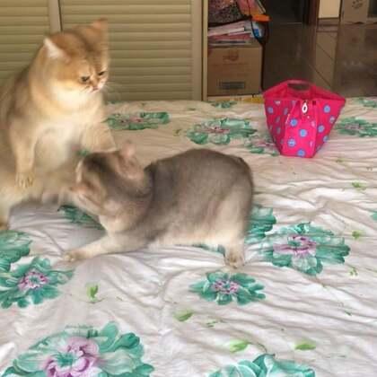 弟弟很生气,后果很严重#宠物#