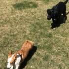 #宠物#奶蛋儿蹂躏小柯基,说实话我从来都是见奶蛋儿追别的狗玩,从没见过别的狗追他。