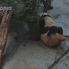 #萌团子日常#小孩子不能太皮,否则会变皮孩。#大话熊猫#