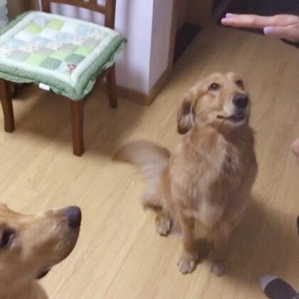 昨天在乌娜大姨妈家拍的、乌娜的大表哥spark大逗逼和大表嫂Luna超淑女~~很有趣的小两口~#宠物#@Spark❤️Luna