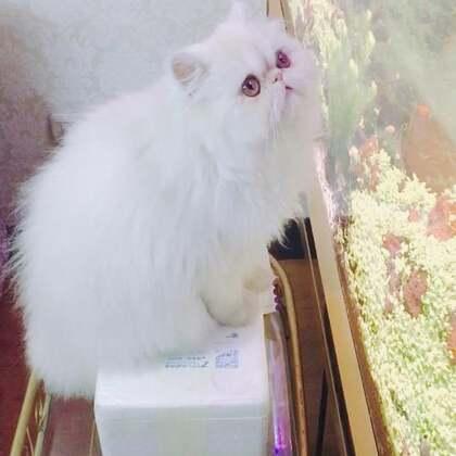 分享一只抓鱼的掉毛猫、家里的鱼缸终于放满水了!miumiu好喜欢、@美拍小助手 #宠物#