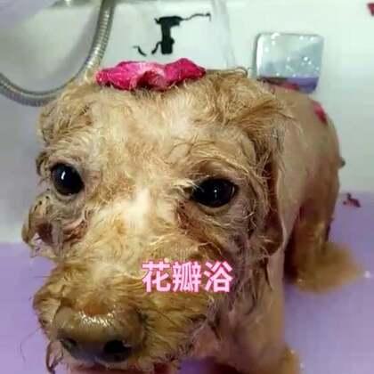 花瓣浴#听说你们喜欢小奶狗##宠物#