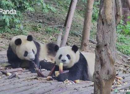 """#精彩一刻##宠物##吃播# """"娅星"""":竹子,快摆好姿势,吃播要开始啦!""""雅竹"""":我脸超级适合上镜的~下午茶似不似马上就要来了?"""