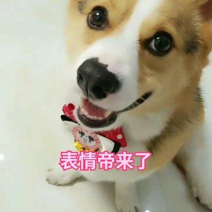 搞笑的表情帝上线啦!哈哈😄#宠物##汪星人##肉圆小短腿#@宠物频道官方账号 @美拍小助手