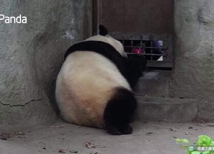 """#精彩一刻##网红##宠物# """"艾莉""""是熊猫频道第一批网红,堪称鼻祖,如今又回到了镜头下,直播吃苹果吗,好久不见"""