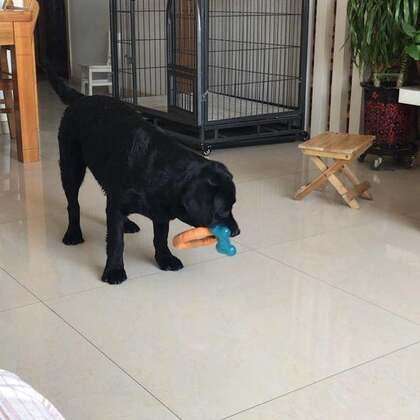#宠物#贪心鬼,一次玩两个玩具,哪个都舍不得丢下。