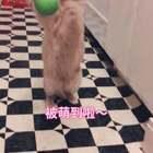 俺会接球球哦,厉害不~😂#宠物##i like 美拍##越努力越幸运#