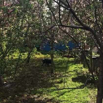 #宠物#满树的海棠花,狗子玩的也开心。