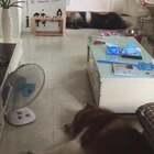 #宠物# 干麻早上起床出卧室看到这一幕…❤都化了