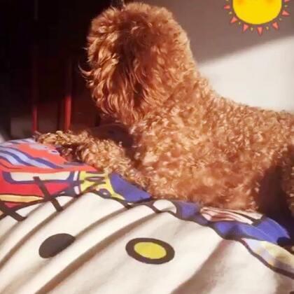 我们一起晒阳阳☀ 手机里还有好多以前拍的小视频#泰迪的生活##宠物#