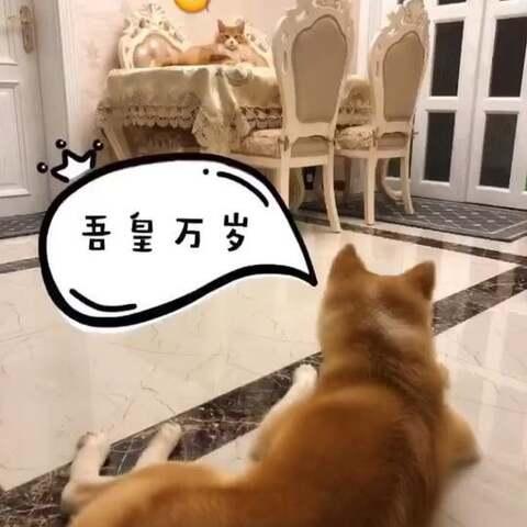 【🌸喵小萌ฅ>ω<*ฅ🌸美拍】#宠物##家有萌宠#狗眼里的🐈vs猫...