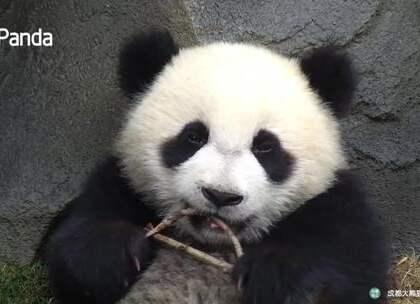 #精彩一刻##大熊猫##宠物# 喂,你别再看着我了啊,你再这样看着我,我就带你回家了!