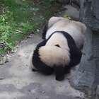 """#精彩一刻##大熊猫##宠物# """"妮可""""宝宝真是妈妈的小可爱,默默跑到妈妈旁边超可爱的倒立挠痒还咬妈妈耳朵"""