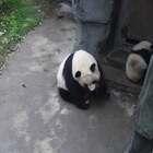 """#精彩一刻##大熊猫##宠物# """"晶晶""""正吃着窝头呢,""""珍喜""""想接近妈妈,被妈妈一脚踢开!妈妈很饿,可能现在顾不上你,你等会儿吧~~请问,这个真的是亲妈?"""