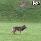 一位训导员正带着工作犬做评估,狗狗全程超级兴奋,等指令的时候一直盯着主人,满脸期待的样子无敌可爱!😂最后一下刹车帅呆啦!#全球搞笑精选##搞笑#