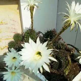 #喜欢你的微笑.# 遗弃在楼顶一年没管的仙人球,昨日的花骨朵一夜起来竟已全部盛开