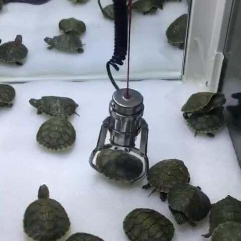 【抓娃娃的牛魔王大人美拍】抓乌龟,还有谁。。。@抓娃娃上...
