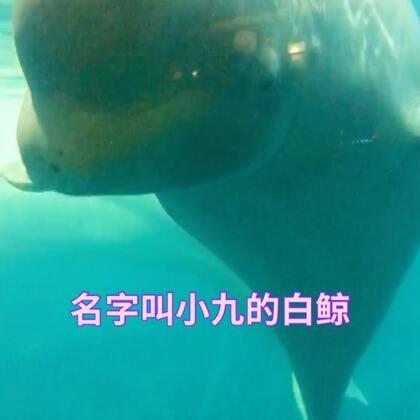 #宠物##海洋宝宝##大连旅游#在圣亚海洋附近,有一个叫鲸咖啡的地方,你可以喝着咖啡与海豚跟白鲸近距离接触,据说,海洋馆里都是留下有疾病的动物,她们因为自身的缺陷不可以独自生活,所以留在海洋馆。这只白鲸叫小九,我跟她说话,她还一直在这里对我点头,我问她想不想大概大海?她说……