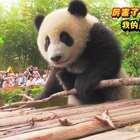 #厉害了,我的熊猫#社会你馨姐,熊狠话不多💪