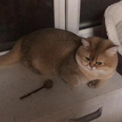 金仔最近胖了,圆滚滚#宠物#