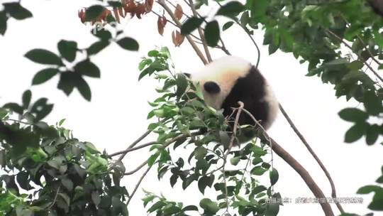 #萌团子日常#珍喜:吹啊吹啊我的骄傲放纵😌吹啊吹不断我可爱小树