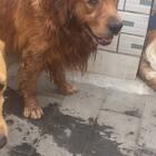 #宠物##宠物#全家最热的狗,温馨提示:天气变热,狗狗心情烦躁,拉好你的狗,误伤他人,做一个负责的主人