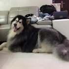 有人撩小奶狗吗😂😂#宠物#