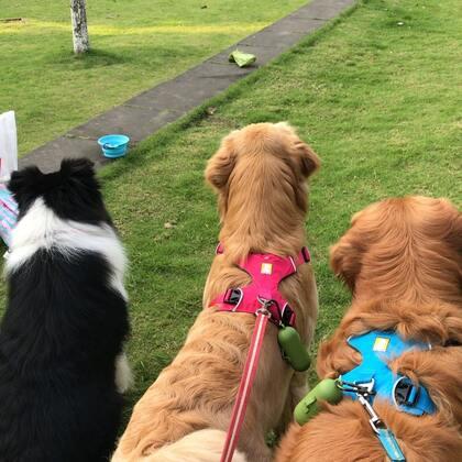 #汪星人##萌宠#早上在大草坪遛狗,很远就看见拉拉来了,赶紧给他们牵引了,都是公狗怕🍉,那只拉拉好乖好乖