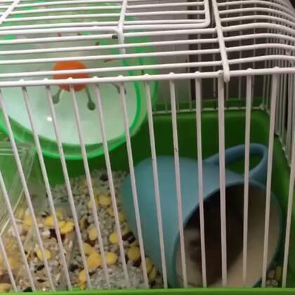 萌宠小仓鼠##仓鼠##金丝熊# 天好热 它最喜欢在杯子里睡觉