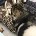 #宠物#麻,它抢我沙发
