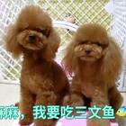 #汪星人##宠物#最爱吃麻麻做的三文鱼肉干😘😘http://item.taobao.com/item.htm?id=557588985039莎拉麻麻手工宠物零食!纯天然更健康!
