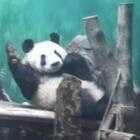 介系你从没见过的熊猫蹦迪,感受一下这船新的体验吧!👯♀️👯♂️