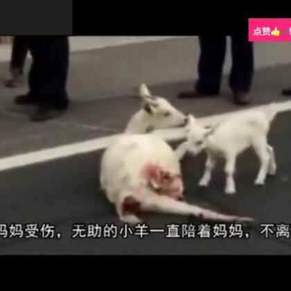 羊妈妈受伤了😭小羊陪着妈妈不离不弃👍#精美电影##宠物##正能量#点赞👍➕转发正能量🌹
