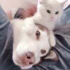 #宠物##哈士奇##猫咪#🤣哈哈哈哈