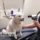 """台湾一位美容师接到一只""""凶""""狗狗,在主人帮助下,狗狗戴上了口罩,可是吹毛过程中口罩意外脱落!于是美容师PO上了这样一段影片,希望大家都能互相体谅……💔"""
