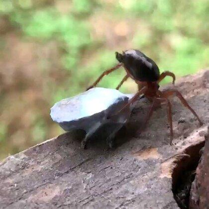 蜘蛛猎食!#精选#