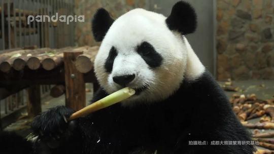 #萌团子日常#讨厌吃东西吧唧嘴,但大熊猫除外!😜