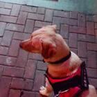 #训练狗狗##宠物#在等粑粑的过程中,①有个大叔要花2000买米乐②两个小孩过来踢了米乐一脚,都什么人呐#我要上热门@美拍小助手#@宠物官方频道账号