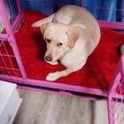 #宠物##拉布拉多##我要上热门@美拍小助手#@宠物官方频道账号