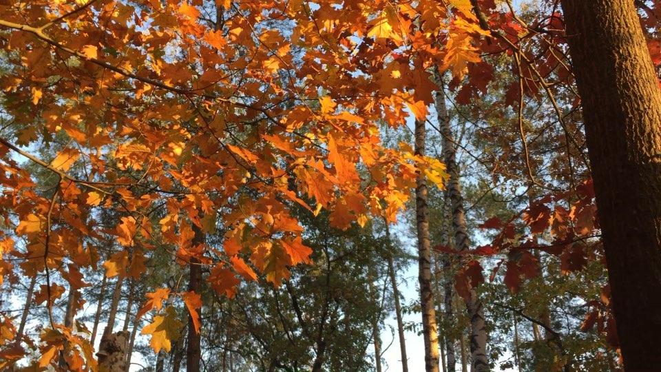 经常会去家附近小森林踩踩叶子,看看树,各种各样的树。#金叶子红叶子##秋天踩树叶##时光静止#