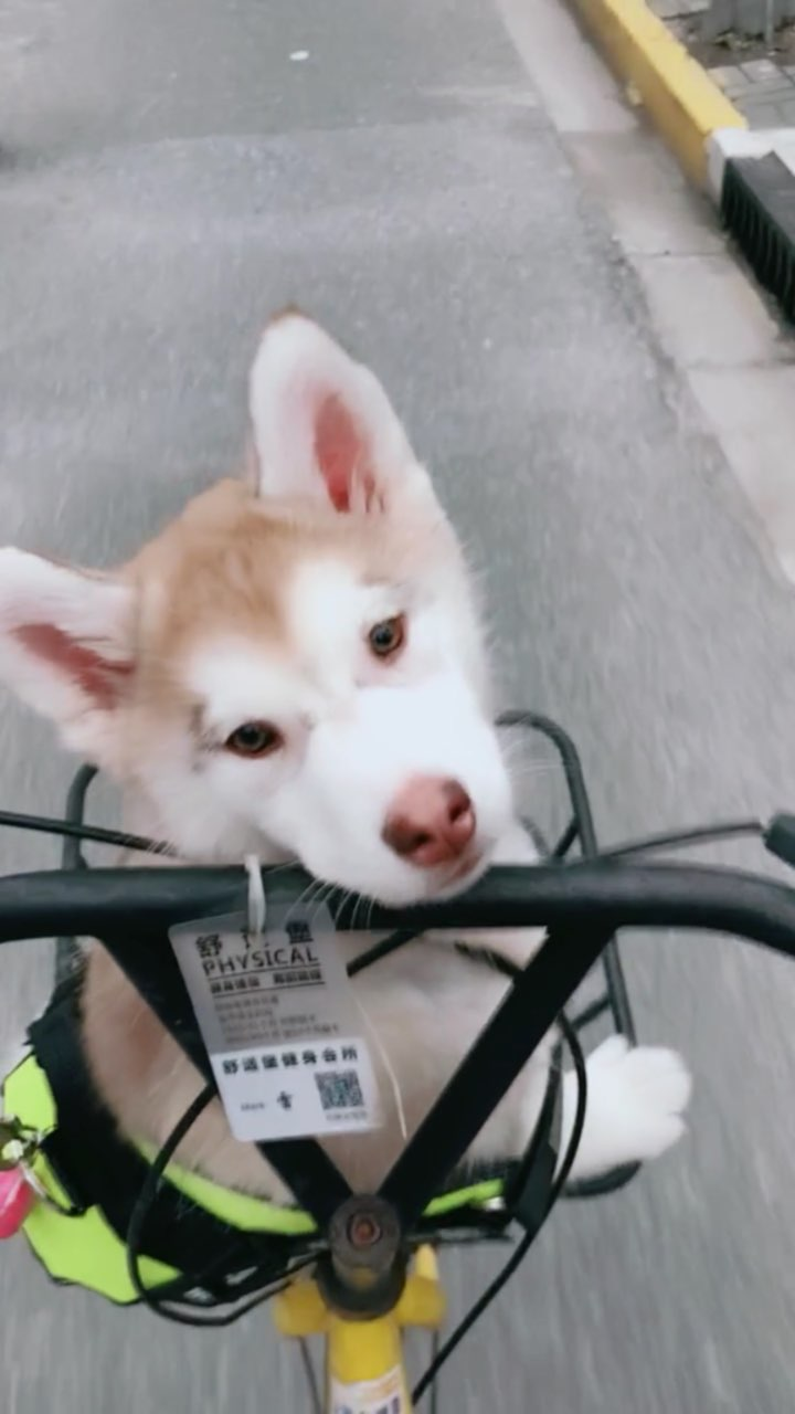 回来高峰期没打到车,肉肉第一次坐自行车一脸茫然😂#宠物##哈士奇#