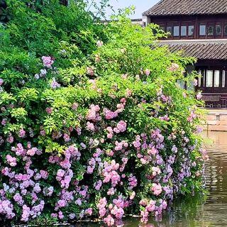 #帶著美拍去旅行##蕩口古鎮#古鎮河邊,盛開的薔薇花~~