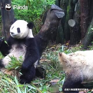 喂!你真是挑了個好位置??你這樣叫我怎么吃得下?愛看#熊貓一刻#就戳??http://live.ipanda.com/xmcd/