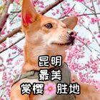 昆明最美赏樱胜地,还不快带上你的狗子去赏樱花呀,再不去就看不见了#樱花粉的浪漫#
